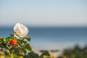 47755954 - beach rose flower at the baltic sea